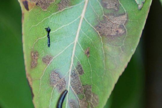 pear-slug-sawfly-2